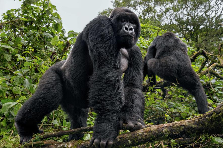 Ultimate Gorilla Journeys in Africa