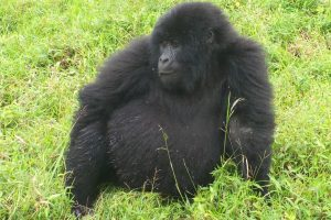 Gorilla and Wildlife Safaris with Nature Adventure Uganda