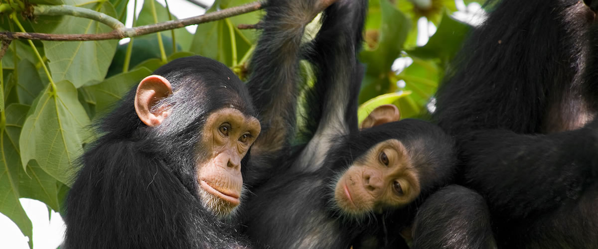 Chimpanzees-in-Kibale-National-Park