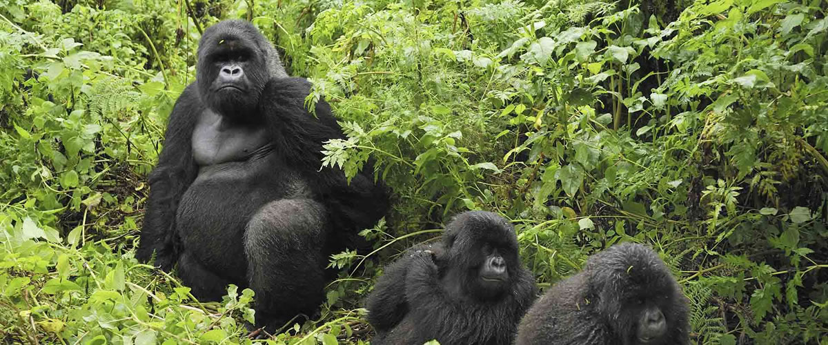 Mountain-Gorillas-in-Bwindi-Impenetrable-National-Park